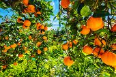 Ripe Oranges On Tree In Orange Garden. Harvesting Oranges In Sicily, Italy, Europe poster