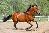 Bay stallion of Ukrainian riding breed gallops on manege