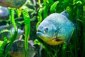 pic of piranha  - Piranha in tropical river - JPG