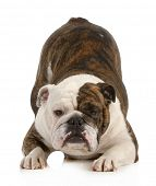 playful dog - english bulldog with bum up in the air isolated on white background
