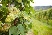 Vinhedo com uvas riesling branco na Alemanha