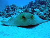 picture of fantail  - A Fantail Stingray on sand - JPG