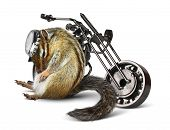 foto of chipmunks  - Funny chipmunk biker with motorcycle on white - JPG