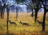 image of jackal  - Jackals group on savanna - JPG