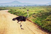 Ostrich on savanna in Africa. Safari in Serengeti, Tanzania