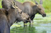 Female moose eating green water plants in small lake