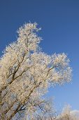 Snowy Willow Tree