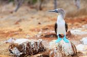 Blue footed booby at Galapagos island of  North Seymour