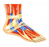Músculos do pé