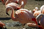 stock photo of flamingo  - Flamingo Closeup - JPG