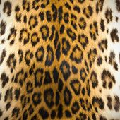 image of leopard  - Texture of leopard skin use for background - JPG