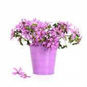 wild violet flowers in bucket isolated on white background