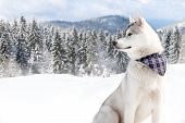 purebred husky in snow with a scarf around his neck