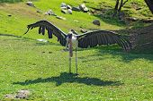 Marabou Stork Spreads Its Wings At The Indianapolis Zoo