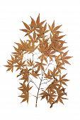 Maple Herbarium Isolated