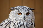stock photo of owl eyes  - portrait of eagle owl with big and beautiful oranges eyes - JPG