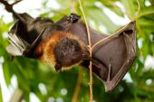 Portrait Lyle's Flying Fox (pteropus Lylei)