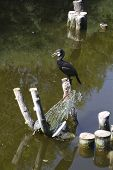 Cormorant on a pond