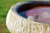 Small Woodpecker Feather On Birdbath