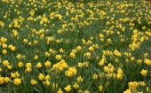 Field Of Yellow Daffs