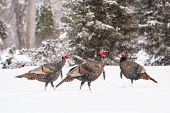 picture of wild turkey  - Wild turkeys walk thru snow in Fargo North Dakota USA - JPG