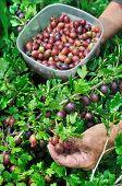 Senior Woman Picking Ripe Gooseberries