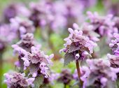 Detail Of Dead Nettle (lamium Purpureum)