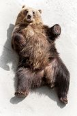 picture of laughable  - Brown bear  - JPG