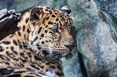 Amur Leopard Resting On Rock