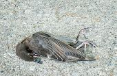 stock photo of blowfly  - Dead Bird - JPG