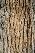 Cottonwood Bark