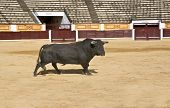 picture of bullfighting  - Bull running at the begining of the bullfight - JPG