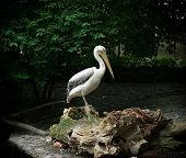Great White Pelican Standing On A Tree Trunk
