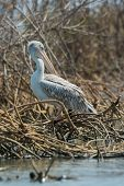 Pink-backed Pelican Preening In The Mangroves