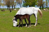 Horse with foal on the farm