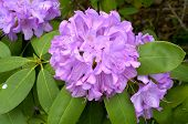 Catawba Rhododendron (rhododendron Catawbiense) Plant In Full Bloom