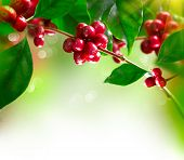 stock photo of coffee crop  - Coffee Plant - JPG