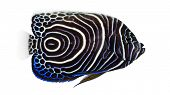 image of angelfish  - Side view of an Emperor Angelfish - JPG