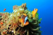 Anemone and pair of Clownfish