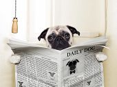 picture of toilet  - pug dog sitting on toilet and reading magazine having a break - JPG
