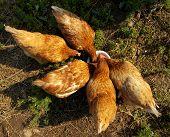 Chicken in a henhouse