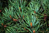 stock photo of pine-needle  - Closeup of the pine needles and buds - JPG