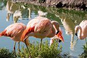 Flock Of Chilean Flamingos Near A Lake