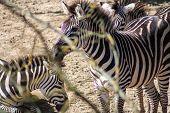 Equus Quagga, Common Zebra - Head Shot