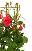 Detail Of Red Roses Bush On White Background