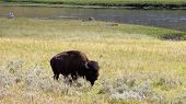 North American Buffalo Grazing In Field With River In Background