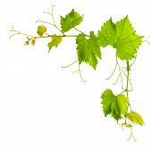 Grapevine Leaves Border Isolated On White