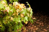 Early autumn: the first leaves turn yellow and fall down. Night shot, lighting with multiple flash.