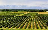 Beautiful Rows Of Grape Vines