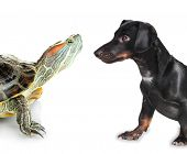 Red ear turtle and black dachshund dog isolated on white